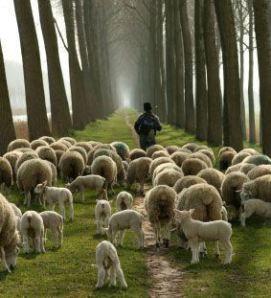 [Image: sheep-with-shepherd.jpg]